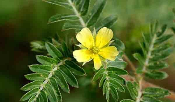 Comment fonctionne le tribulus terrestris ?
